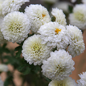 Button-Chrysanthemum