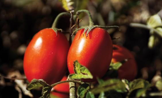 Ital-0712-gastronomy-tomatoes-630