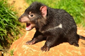 tasmanian-devil-facts-03