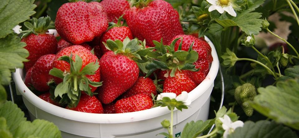 Washington_Farms_Strawberries_6