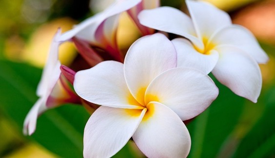 Plumeria-Flowers-of-Hawaii
