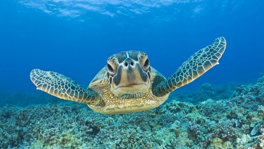 Green Turtle, Chelonia mydas, Hawaii, USA, Maui, T