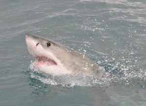 800px-Great_White_Shark