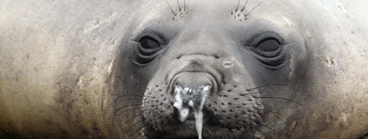 seal-snot