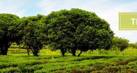 Tea_Tree_Page-940x304