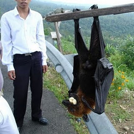 fact-zoo-flying-fox-and-man