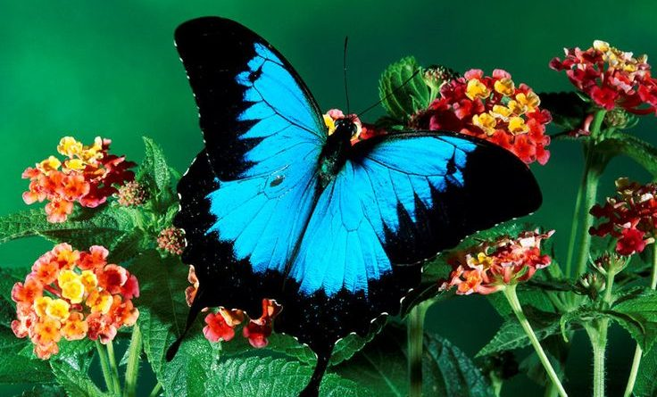 Ulysses Butterfly (Papilio ulysses), in the rainforest, Kuranda State Forest, Queensland, Australia