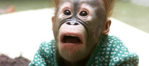 Chimpanzee-Making-Shocking-Face-Funny-Animal