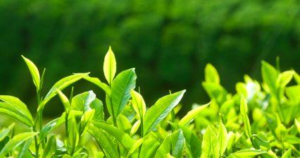 teaplant1