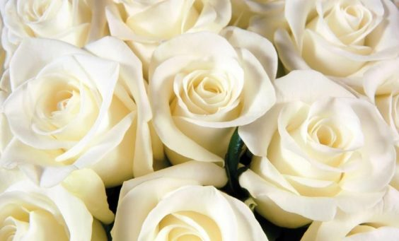 pure-white-roses-720P-wallpaper-middle-size