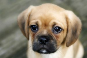 Pugalier Puppy looking at Camera Close up